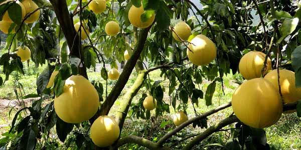 помело-дерево