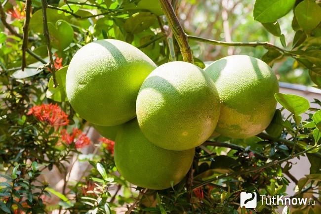 Плоды помело на ветке