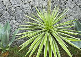 Фуркрея: советы по домашнему выращиванию и размножению