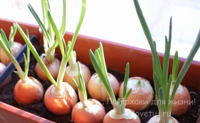 Как посадить лук на зелень дома?