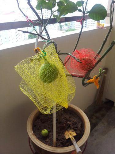 помело фрукт как растет