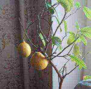 как выращивают помело в домашних условиях