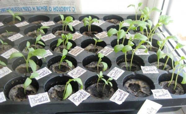 Посев семян на рассаду в кассеты для торфяных таблеток