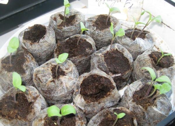 Посадка семян на рассаду в торфяные таблетки