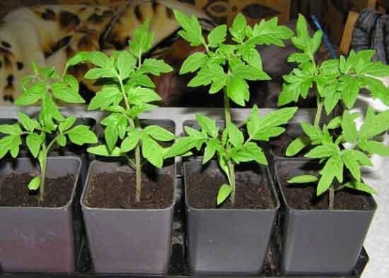 Марганцовка – обработка семян томатов перед посевом фото