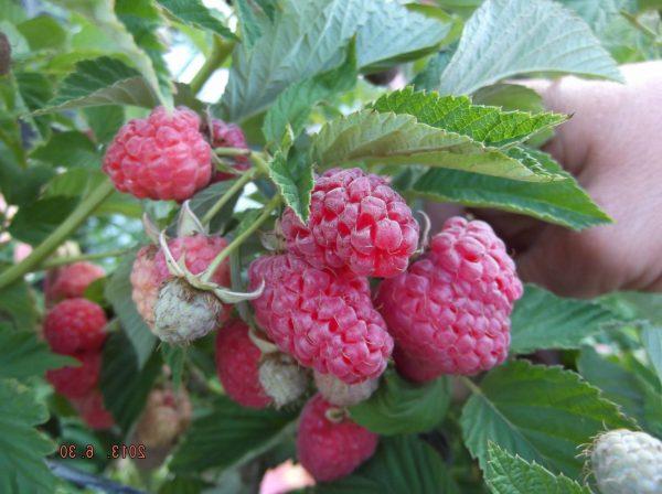 Плоды Тарусы