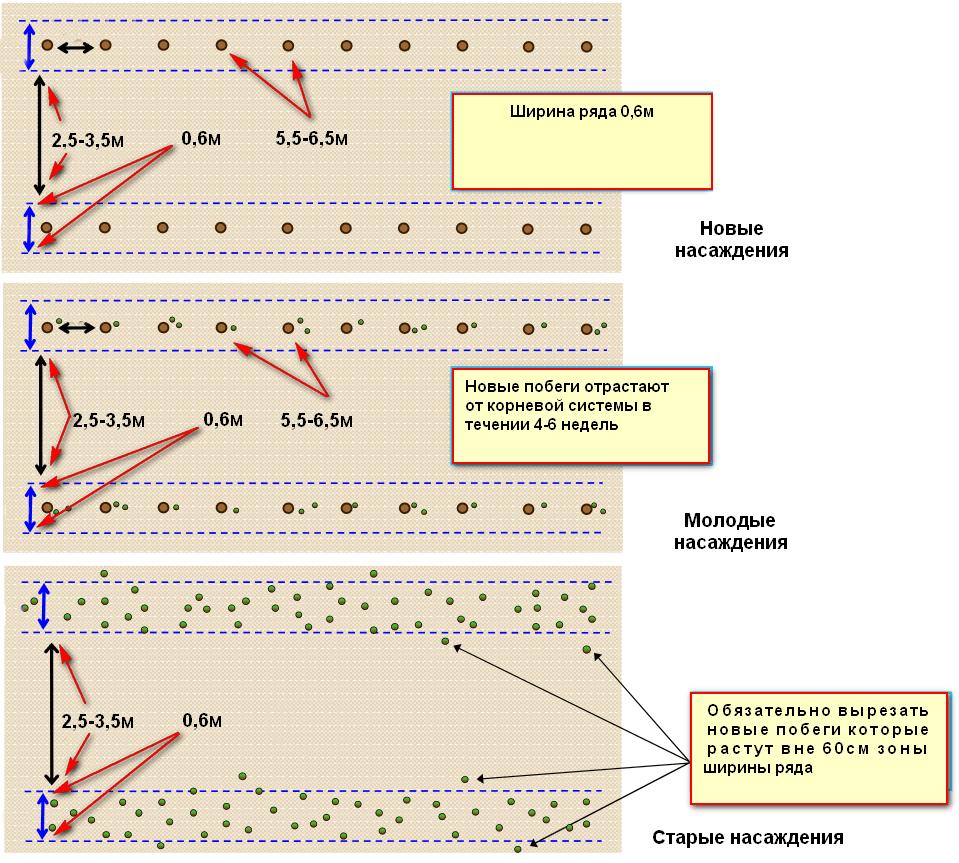 схема посадки ремонтантой малины