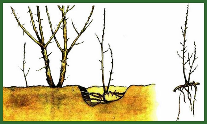 Размножение-малины-Таруса