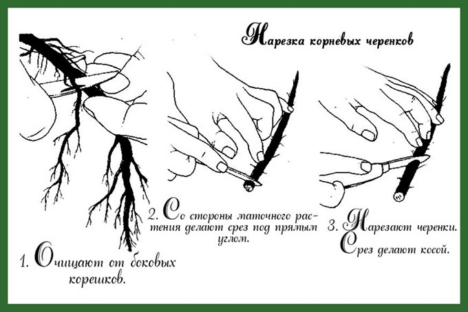 малина-таруса-размножение-как-и-когда