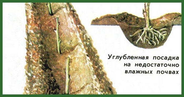 углубленная-посадка-дерева-Таруса