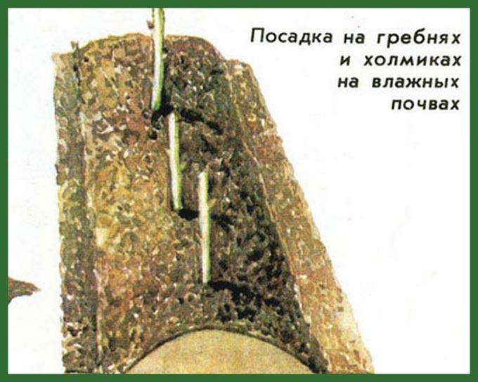 как-размножить-малину-таруса