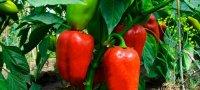 Выращивание перца в теплице из поликарбоната: выбор сорта, посадка и уход