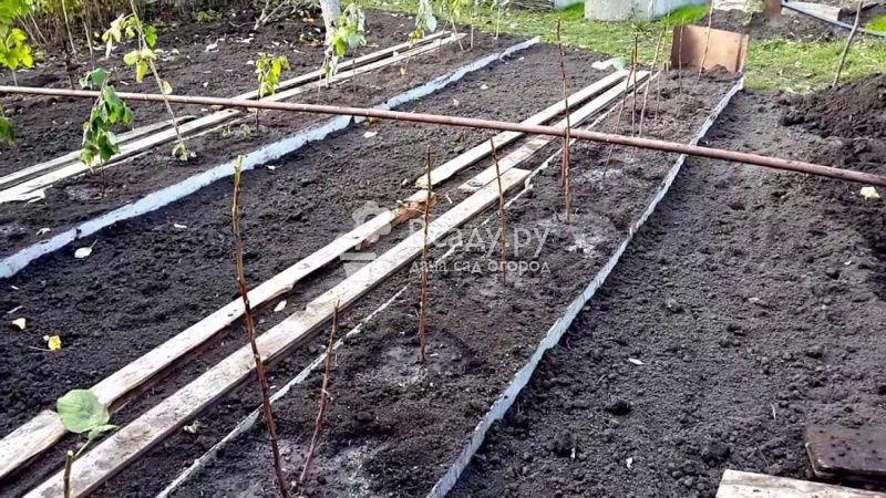 Агротехника посадки малинового дерева