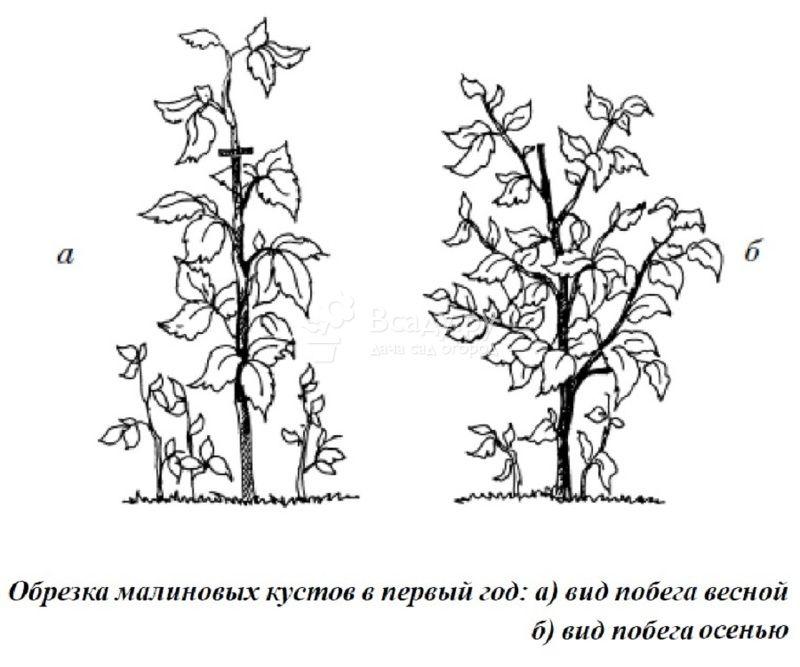 Обрезка в два этапа однолетних побегов малины
