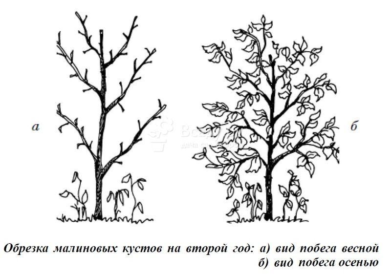 Обрезка малины в два этапа на второй год