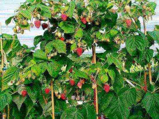 лучшие сорта малинового дерева