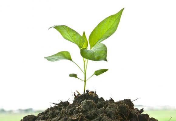 почему плохо растет земляника из семян