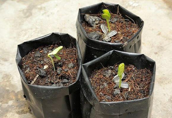 почему не всходят семена настурции на рассаду