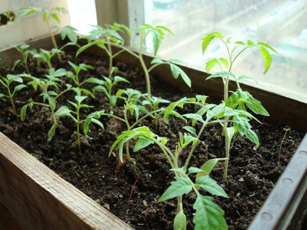 почему рассада томатов медленно растет