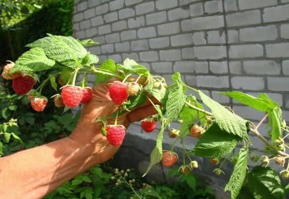 Как выращивать малину в домашних условиях из семян?