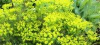 Выращивание молочая кипарисового и уход за растением