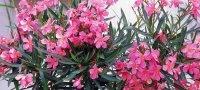 Выращивание олеандра и уход за растением в домашних условиях