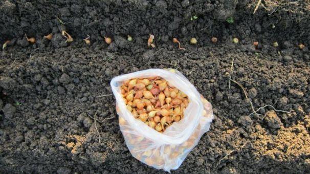 Как правильно посадить лук-севок