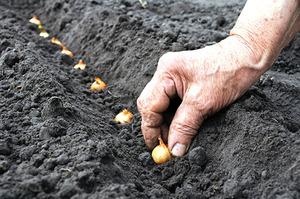 Лук севок посадка в открытый грунт фото