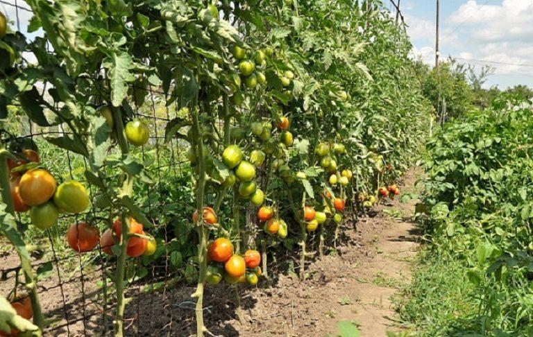 Построив несколько рядов опор для растений на огороде, удастся и значительно сэкономить место