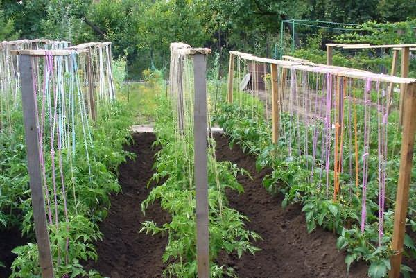Подвязанные помидоры в открытом грунте