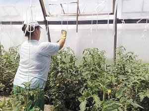 Женщина подвязывает помидоры лентой
