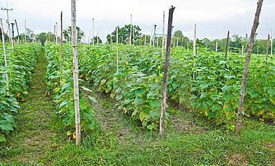 семена гибридов огурцов