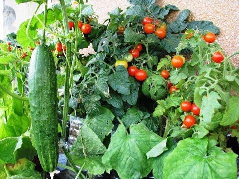 Огурцы рядом с помидорами