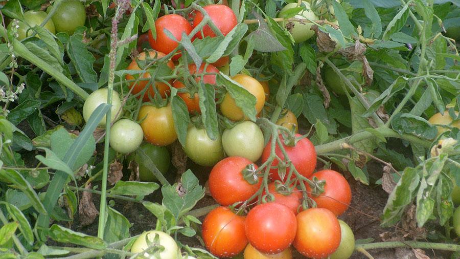 Горецкие томаты