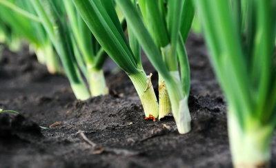 На европейском рынке растет спрос на органический лук