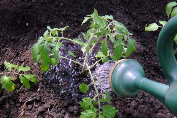 Ошибки, которые допускают садоводы при пересадке в грунт
