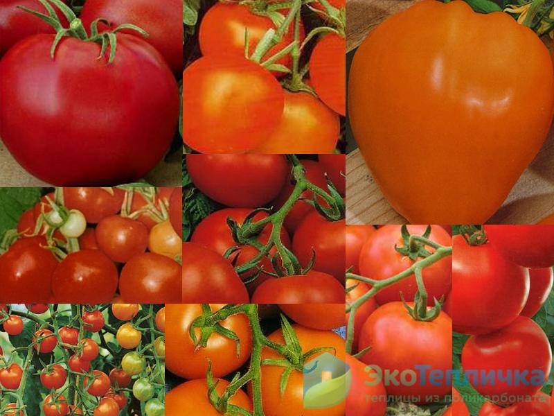 сорт помидоров для теплиц Беларуси