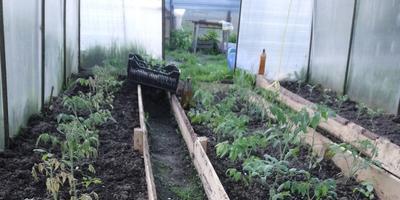 Погибают помидоры, высаженные в теплицу. Помогите спасти