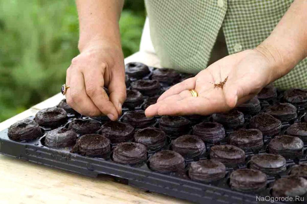 На фото высадка семян перца в торфяные таблетки