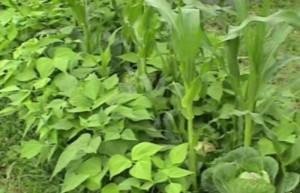 совмещенные посадки овощных культур - фасоль, капуста, кукуруза (фото)