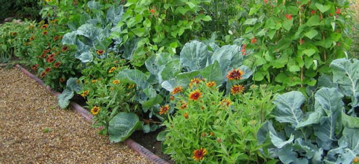 соседство овощей в теплице и смешанные посадки