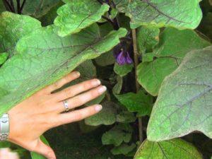 Нужно ли обрывать листья у баклажанов