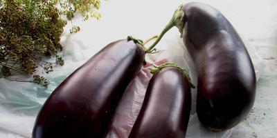 Баклажан 'Валентина' - крупноплодный, красивый, вкусный гибрид