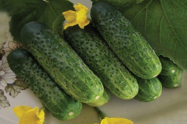 Огурцы наташа описание и характеристика сорта урожайность с фото