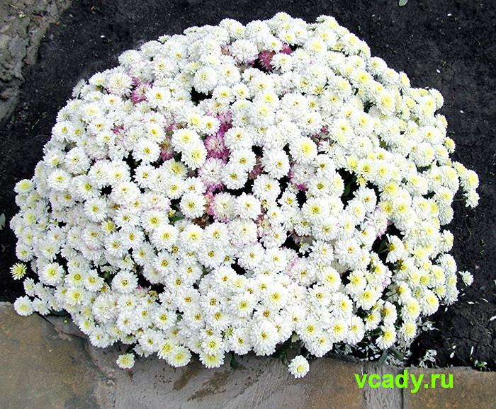 Дубки цветы выращивание низкорослые уход