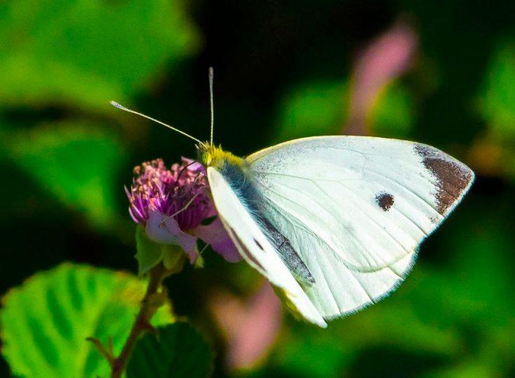 Бабочка капустница фото описание доклад среда обитания информация ... | 539x735