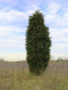 pp_image_114220_lbxe1dt1zt220px-Juniperus_virginiana_near_Oxford2C_Ohio.jpg