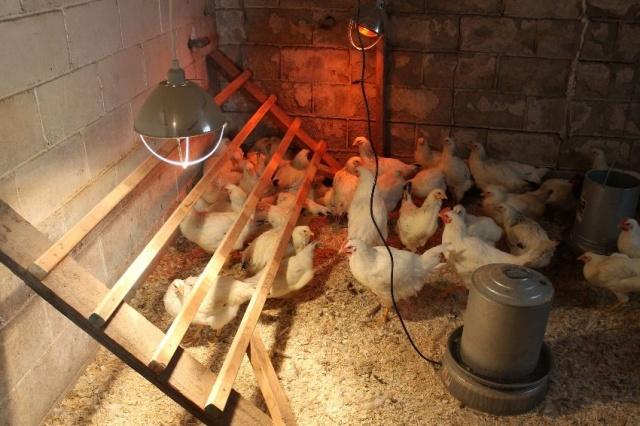 Цыплята бройлеры чихают что делать