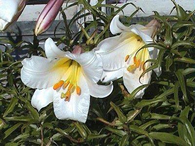 Трубчатые лилии: фото, сорта, уход и особенности выращивания