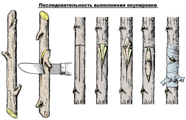 okulirovka_posledovatelnost-e1492074724272.jpg